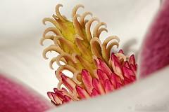 Heart of magnolia flower - Coeur de fleur de magnolia (Sebastien Vermande (Only the Weekend)) Tags: canon100d france midipyrénées lot bokeh macro spring printemps flower fleur pink violet macrophotography macrolens macrophotographie sigma150macroexdg sigmaapoteleconverter14xexdg vermande