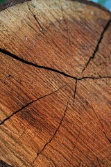 The grain (sven_ali) Tags: tree wood nature cut grain age bark brown norfolk downham