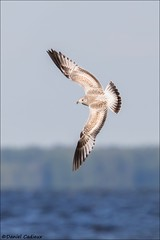 Ring-billed Gull Full-spread. (Daniel Cadieux) Tags: fly flying wings gull ottawa young juvenile ottawariver ringbilledgull