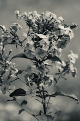 Flowers B&W (dalepedls) Tags: monochrome blooms blooming blackandwhite bw flowers