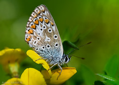 _ZAA4549 (De Hollena) Tags: bläuling blauwtje schmetterling butterfly vlinder papillon mariposa