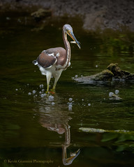 Tricolored Heron with fish (Kevin James54) Tags: egrettatricolor nikon500mmpff56 nikond850 tricoloredheron wilmington animals avian bird heron kevingianniniphotocom