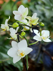 Dendrobium (M.P.N.texan) Tags: orchid small white flower flowers flowering bloom blooms blooming pottedplant plant