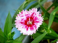 Dianthus (M.P.N.texan) Tags: dianthus flower flowering bloom blooming garden plant macro