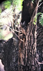 Eastern Screech-Owl (Megascops asio) 05-13-1996 King Ranch--Norias Division, Kenedy Co. TX 3 (Birder20714) Tags: birds texas owls strigidae megascops asio