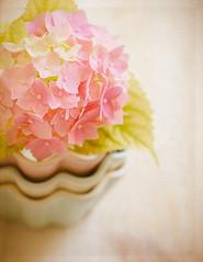 Love of pink (Ro Cafe) Tags: stilllife flower hydrangea highkey pink pastelcolors naturallight soft softfocus textured nikkor105mmf28 sonya7iii