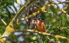 Kingfisher (Steve Balcombe) Tags: bird kingfisher alcedo atthis bridgwater taunton canal somerset uk