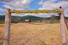 Fenced and Framed (MIKOFOX ⌘) Tags: july learnfromexif cabin canada provia grass xt2 meadow wire mikofox barbwire summer britishcolumbia fujifilmxt2 showyourexif ranch landscape logbuilding barn fence xf18135mmf3556rlmoiswr