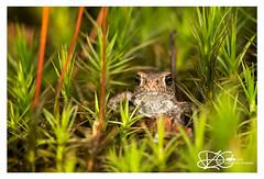 B57I6148-Common-Toad,-Bufo-bufo (duncancooke.happydayz) Tags: hay bridge toad young moss bufo amazingwildlifephotography amphibians amphibian
