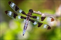 Male Twelve-spotted Skimmer (Dan Dewan) Tags: dandewan odonata canonmacroef100mm128lisusm canon colour summer ottawa macro wednesday dragonfly ontario insect august canoneos7dmarkii canada green 2019 dragonflies constancebay