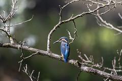 Martin pêcheur (patrickparsol) Tags: martinpêcheur oiseau eau vol auvergne