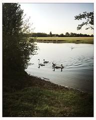 6 swans a swimming (breakbeat) Tags: swans cygnets swimming hipstamaticjaneblankoiphoneonlyoxfordflickrmeetingaugust19oxfordphotographersportmeadowwolvercotejerichoriverwalksummerthamespathisis