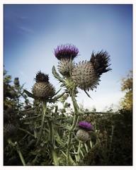 Thistle? (breakbeat) Tags: plantlife thistle purple spiky plant hipstamaticblankojaneiphoneonlymakebeautifulflowerslandscapesmacronaturetravelsunsetoxfordflickrmeetingaugust19oxfordphotographersportmeadowwolvercotejerichoriverwalksummerthamespathisis