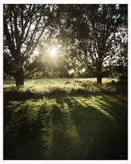 More cows (breakbeat) Tags: sunlight sunset cows nature treesshadows hipstamaticjaneiphoneonlyoxfordflickrmeetingaugust19oxfordphotographersportmeadowwolvercotejerichoriverwalksummerthamespathisis