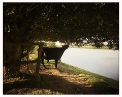 Cows eating (breakbeat) Tags: summer cows eating trees sunset river hipstamaticjaneblankoiphoneonlyoxfordflickrmeetingaugust19oxfordphotographersportmeadowwolvercotejerichoriverwalksummerthamespathisis
