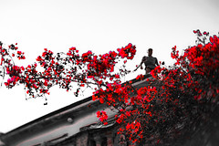 Rooftop (judy dean) Tags: judydean 2019 greece lensbaby selectivecolour red bougainvillea man rooftop building flowers