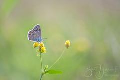 icarus blue (Bart Hardorff) Tags: 2019 alblasserwaard barthardorff hardinxveld thenetherlands augustus blauwtje butterfly icarusblauwtje vlinder