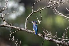 Martin pêcheur (patrickparsol) Tags: martinpêcheur eau vol oiseau auvergne