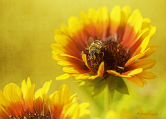 #Bee-autiful (aenee) Tags: aenee nikond7100 sigma105mm128dgmacrohsm beeautiful smileonsaturday bumblebee hommel bombus flower bloem gaillarda yellow geel jaune pse14 20190812 dsc2876