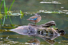 Wood Duck (Neal D) Tags: bc chilliwack greatblueheronnaturereserve bird duck woodduck aixsponsa