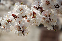 Apricot flowers (nemetz83) Tags: apricot apricottree flower flowers leaf leaves branch green plant tree spring flowering petals garden gardening bloom blossom blossoming florescence vegetation springtime blooming