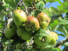 Apple trees (brian.m.rule241) Tags: apple tree pollinators weather cold spring bloom flower massachusetts medway ma environment impact study birds moth insect