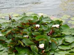 Water lilies (Trinimusic2008 -blessings) Tags: trinimusic2008 judymeikle nature flowers waterlilies leaves water lake alberta summer bluebirdestates august 2019 peggyandted gratitude rural canada sonydschx80 sooc