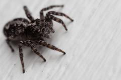 Half of a Couple, pt. 1 - _TNY_1099 (Calle Söderberg) Tags: macro canon5dmkii canoneos5dmarkii canon canon5dmarkii flash godox thinklite tt685c plåtdiffusorv3 canonmpe65mmf2815x mpe65 33x 331 arachnida araneae salticidae saltie spider spindel spinne jumpingspider jumper hoppspindel springspinne laduhoppspindel sitticus terebratus black whitebackground greystripe hair hairy fuzz fuzzy cute kawaii redhairs whitehairs f11 araneomorphae