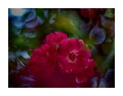 La Vie en rose (BeMo52) Tags: art bokeh climber flora garten macro makro natur nature pentaconauto50mmf18mc reddorothyperkins rose weitwinkelkonverter045x wideangleconverter hss