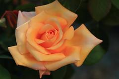 Gelbe Rosenblüte (Rolf Pahnhenrich) Tags: blüte natur rose canoneosdigital rolfpahnhenrich rosenblüte pflanze