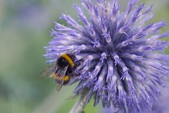Feel the Fuzzy (tanyalinskey) Tags: insect summer blue purple flower bee macro beeautiful smileonsaturday