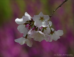 Wise are those who learn that the bottom line.... (itucker, thanks for 5+ million views!) Tags: macro bokeh hff cherry blossom cherryblossom redbud cercis dukegardens