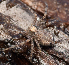3.4 mm female running crab spider (ophis) Tags: araneae philodromidae philodromus runningcrabspider