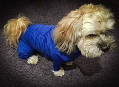 Onesie (PEEJ0E) Tags: allergies seasonal suit body full shirt rescue mutt dermatitis atopic maltese rusty clothes dog