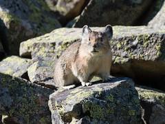 _8071702 (RAStr) Tags: pika rodent