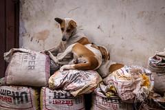 Lucknow | Uttar Pradesh (chamorojas) Tags: chamorojas albertorojas dog dogs india india20182019 lucknow perro straydog streetdog uttarpradesh