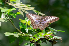 Blue Clipper Butterfly - Penang (Peter.Stokes) Tags: boats buildings colour cruise2019 landscape landscapes outdoors photo photography sky vacations water penang entopiabypenangbutterflyfarm pen butterflies butterfly