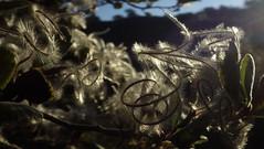 Mountain mahogony morning (Jeff Goddard 32) Tags: flora shrub macro californiamountainmahogony