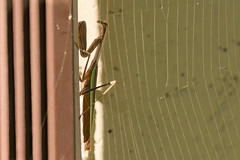 praying mantis (mnolen2) Tags: mantis praying insect nature web spider