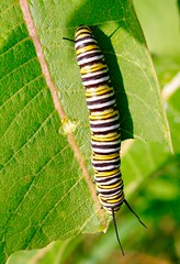 3:30 crawl (REGOR NOTPUL) Tags: tawnyedged skipper milkweed tussock moth damage pecks monarch caterpillar