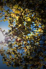 Sun trought the leaves (pasqualinistefano) Tags: tree sun sky albero foglie sole leaf leaves
