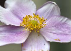 Anemone (Shotaku) Tags: garden flowers flower macro closeup perennials blooms blooming plants plant pink anemones