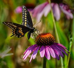 On Orange (Portraying Life, LLC) Tags: da3004 hd14tc k1mkii michigan pentax ricoh topazaiclear unitedstates butterfly closecrop handheld nativelighting meadow count coneflower wild feeding