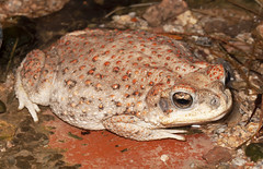 Red-spotted Toad (Robyn Waayers) Tags: redspottedtoad buffpunctatus toad toads tucson arizona robynwaayers