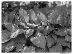 ...Soft focus Hosta plant (jrmood) Tags: flowers garden jmoodphotography jamesmoodphotography newhampshire abstract mamiya 645 1000s medium format