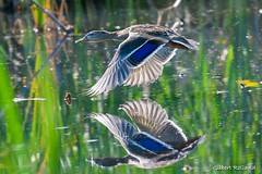 Canard Colvert femelle - Female Mallard Duck -  Anas platyrhynchos (Gilbert Rolland) Tags: canard colvert mallard duck bird flight bif oiseau
