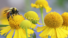 Bee the best you can bee 🐝 (Through Serena's Lens) Tags: smileonsaturday beeautiful bee insect heleniumautumnalesneezeweed flora flower yellow pollen plant bokeh dof nature outdoor macro canoneos6dmarkii