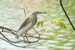 Ardeola grayii (Indian Pond Heron) male - Ardeidae - Kandy Lake, Kandy, Central Province, Sri Lanka (Nature21290) Tags: april2019 ardeidae ardeola ardeolagrayii aves centralprovince indianpondheron kandy kandylake srilanka2019