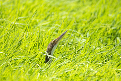 Peak-a-Bittern (J. E. Foster) Tags: botauruspinnatus caribbean caroni caroniricefields nikond7100 pinnatedbittern sigma150600mmf563dgoshsm trinidadandtobago animal bird nature wildlife