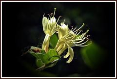 Blooming... (Lopamudra !) Tags: lopamudra lopamudrabarman lopa flora flower bloom light lightandshade kashmir kasmir himalaya himalayas highaltitude highland spotlight wilderness wild nature beauty beautiful jk india enlightenment